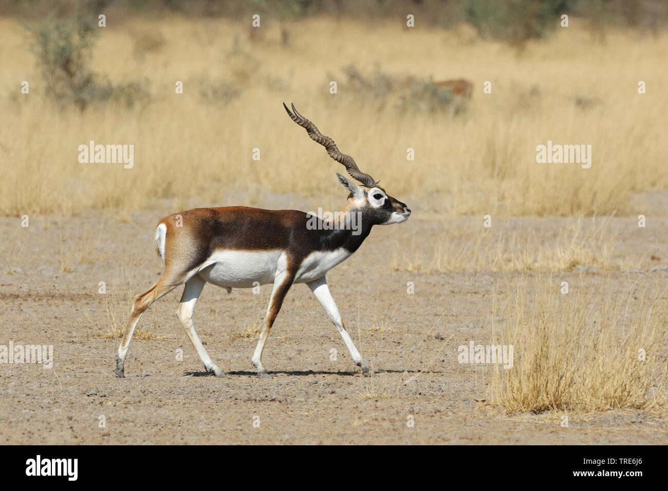 Hirschziegenantilope, Hirschziegen-Antilope (Antilope cervicapra), Bock laeuft durch die Savanne, Indien, Tal Chhapar | Hirschziegenantilope (Antilope cervicapra Stockbild