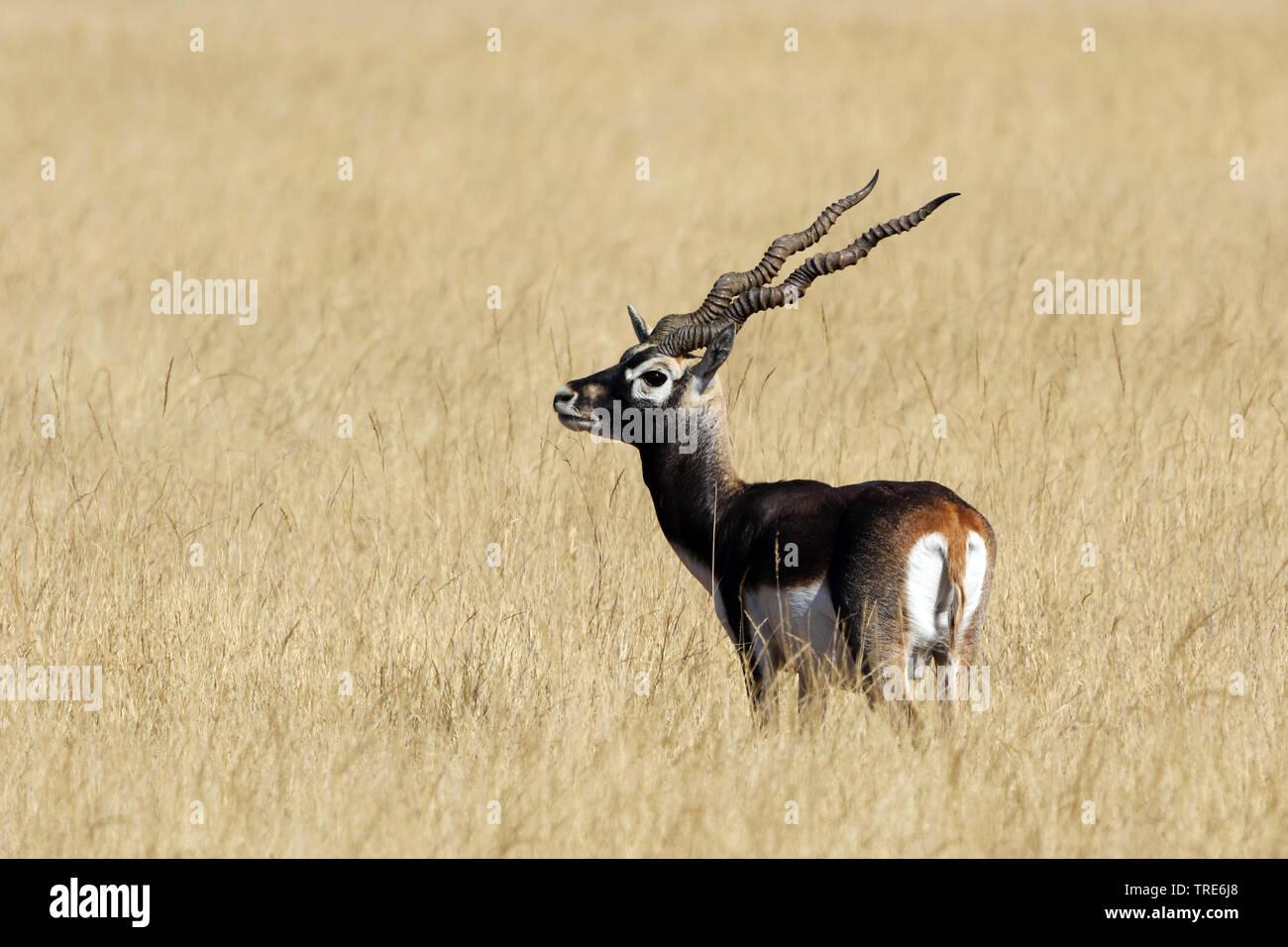 Hirschziegenantilope, Hirschziegen-Antilope (Antilope cervicapra), Bock e in der Savanne, Indien, Tal Chhapar | Hirschziegenantilope (Antilope cervicapra), b Stockbild