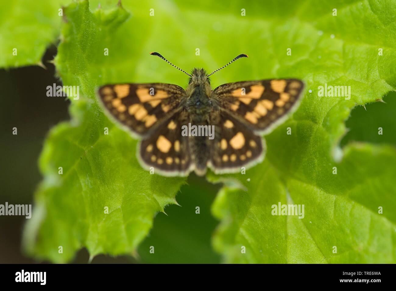 Gelbwuerfeliger Gelbwuerfeliger Dickkopffalter Dickkopffalter,, Bunter Dickkopffalter (Carterocephalus palaemon, Pamphila palaemon), sitzt in einem B Stockbild