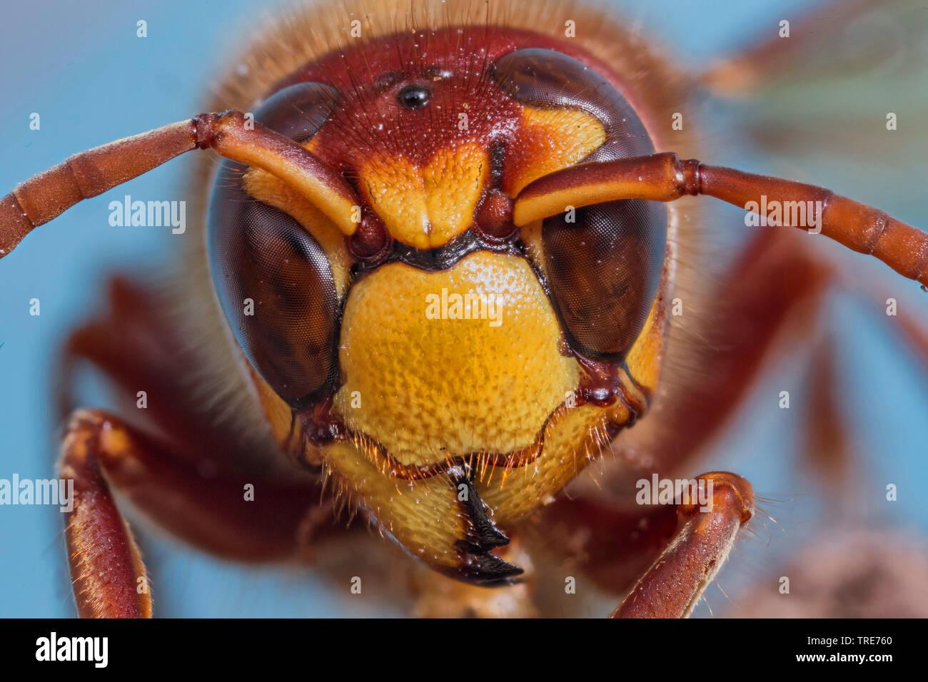Hornisse (Vespa crabro), Portraet einer Arbeiterin, Lupenaufnahme, Deutschland, Bayern, Niederbayern   Hornet, brown Hornet, Europäische Hornisse (Vespa cr Stockbild