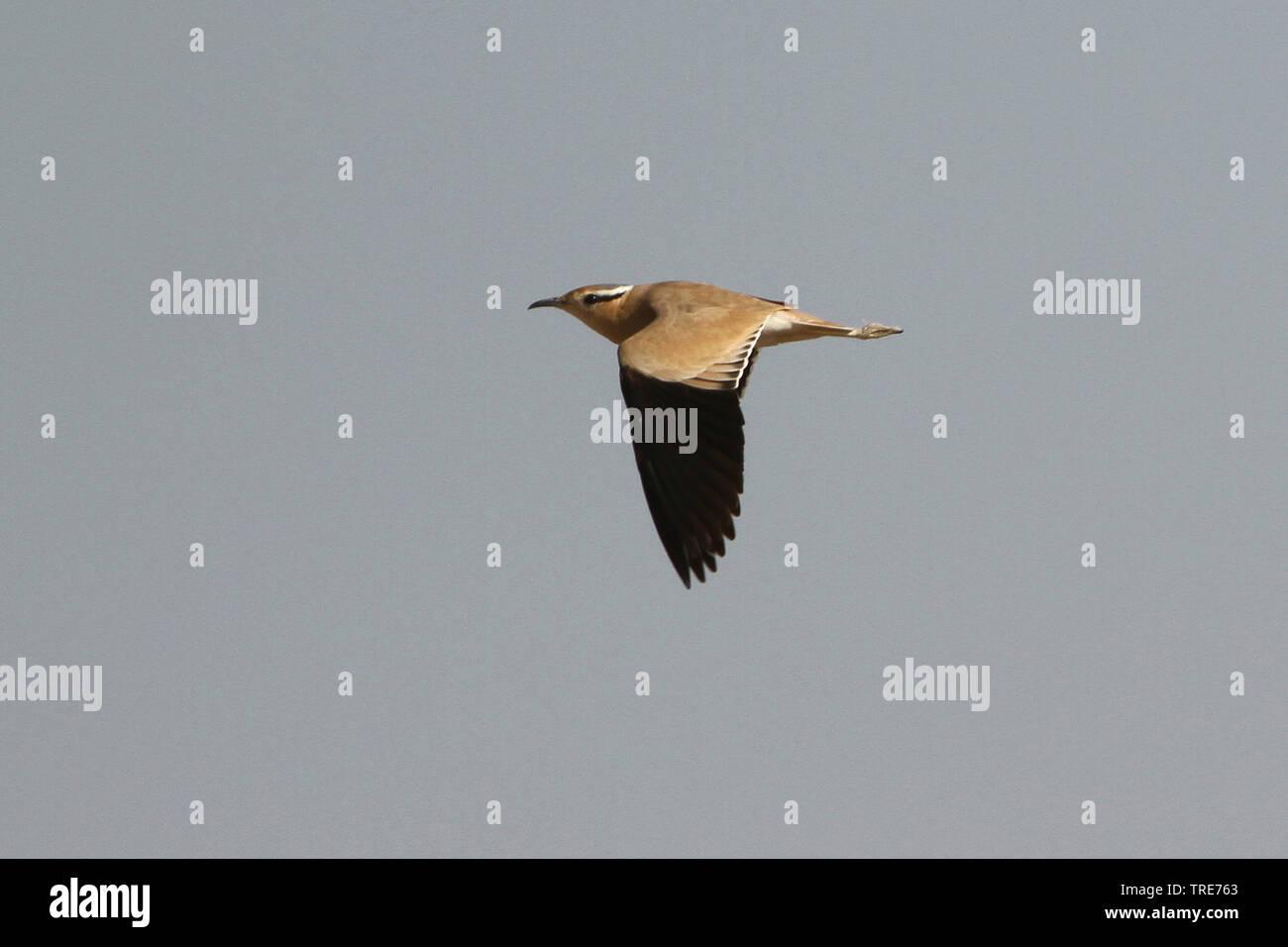 (Rennvogel Cursorius Cursor), fliegend, Indien, Desert Nationalpark | cremefarbenen Renner (Cursorius Cursor), Fliegende, Indien, Wüsten Nationalpark | Stockbild