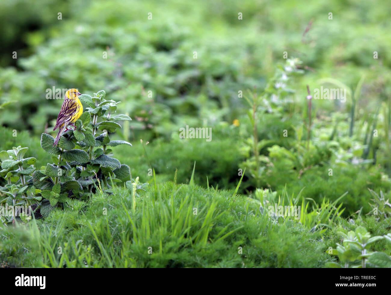 Kanarienvogel, Kanarien-Vogel,, Kanaren-Girlitz Kanarengirlitz (Serinus canaria), in einem Garten, Azoren, Sao Miguel | Insel Kanarienvogel (Serinus Canari Stockbild
