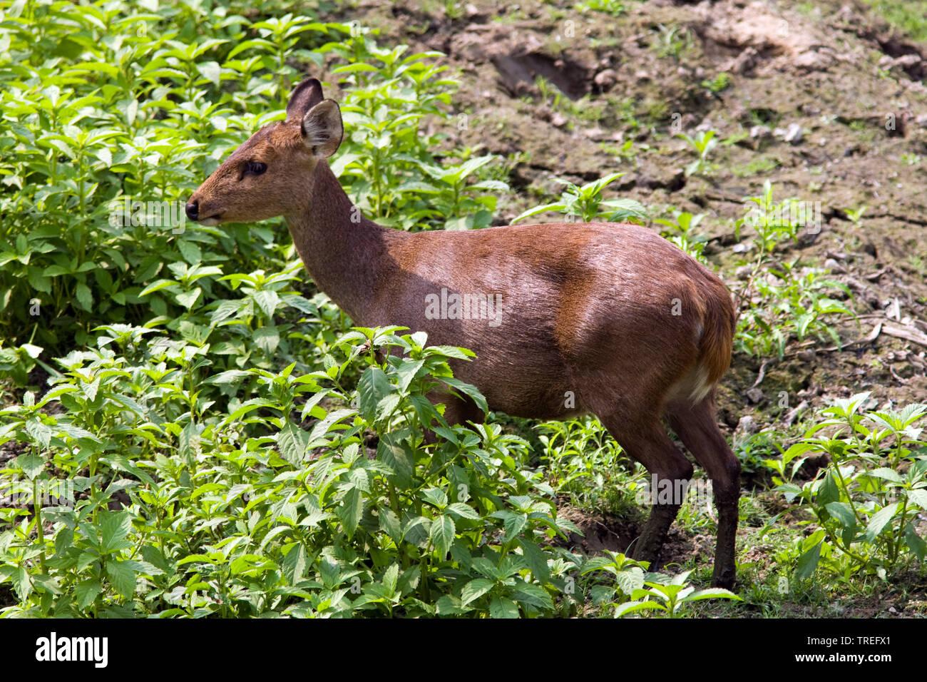 Schweinshirsch, Schweins-Hirsch (Axis porcinus), Weibchen, Indien, Kaziranga Nationalpark | hog Rotwild (Axis porcinus), Weibliche, Indien, Kaziranga Nationa Stockbild