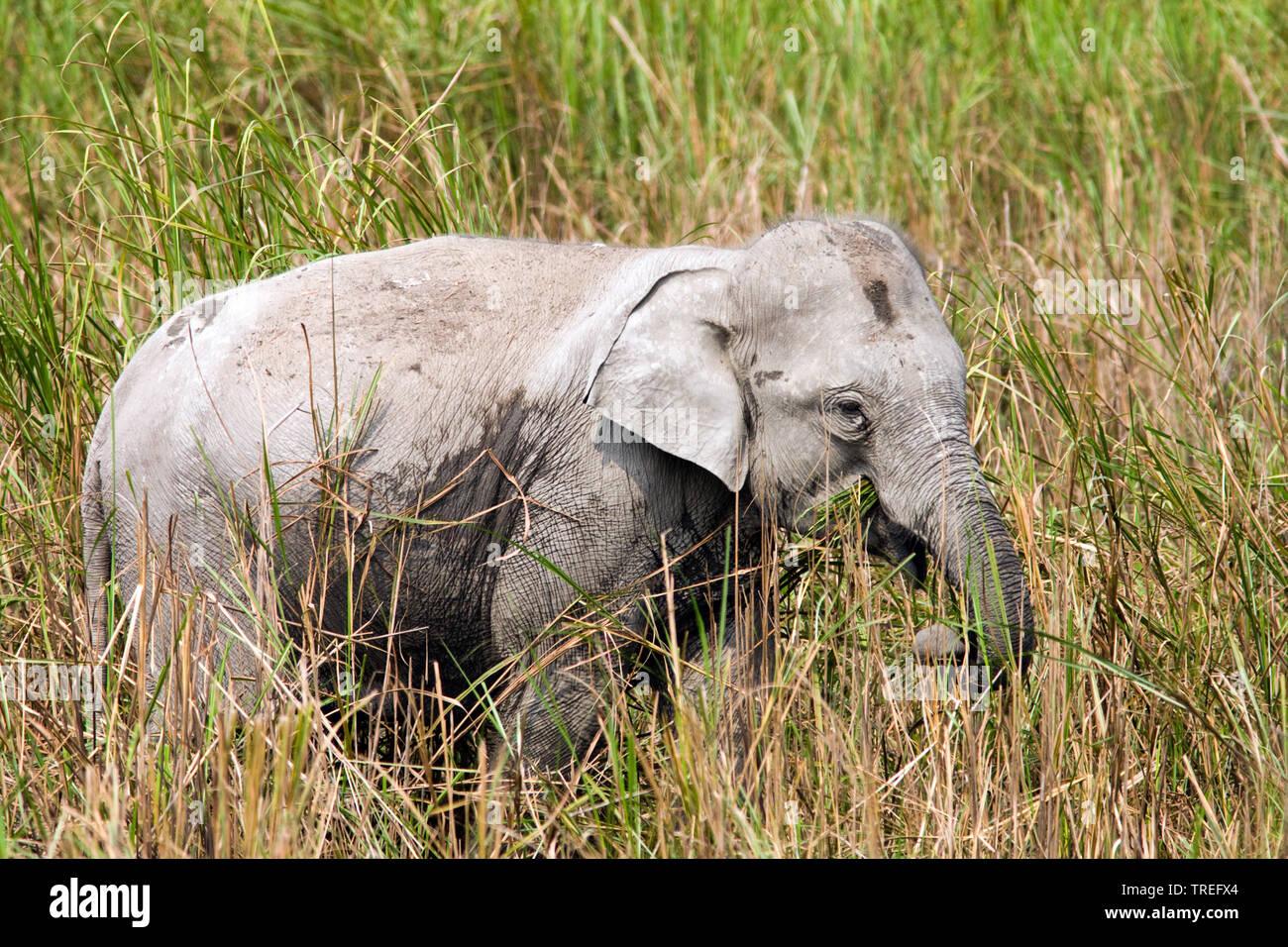 Indischer Elefant, Asiatischer Elefant (Elephas maximus indicus, Elephas maximus Bengalensis), beim Fressen, Indien, Kaziranga Nationalpark | Indische e Stockbild