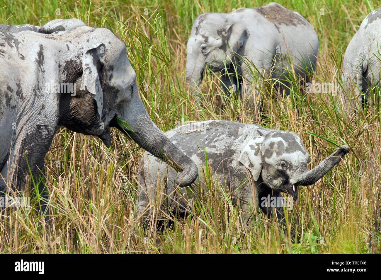 Indischer Elefant, Asiatischer Elefant (Elephas maximus indicus, Elephas maximus Bengalensis), Gruppe beim Fressen, Indien, Kaziranga Nationalpark | I Stockbild