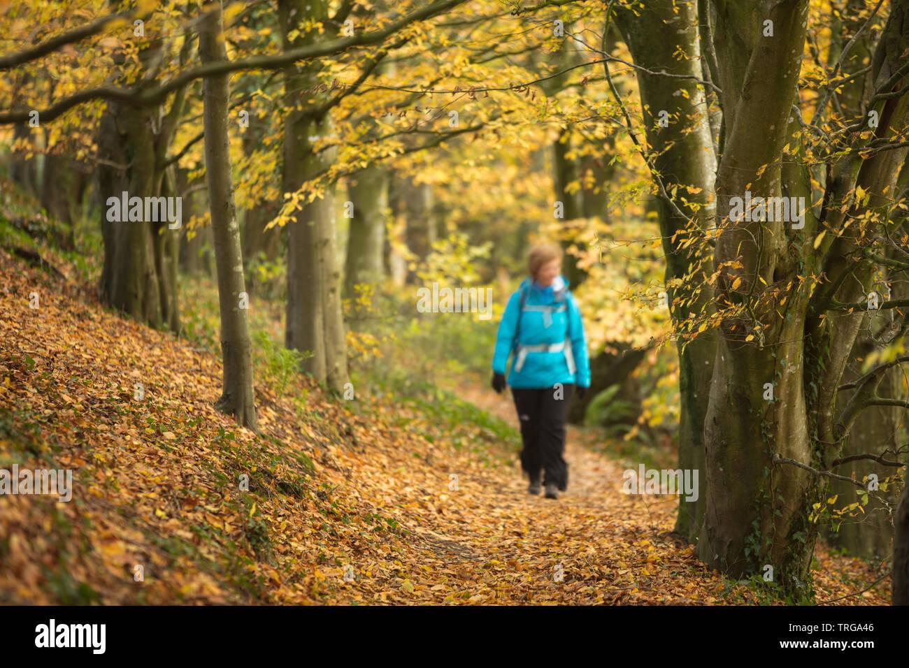 Ein Wanderer im herbstlichen Holway Woods in der Nähe von Sandford Orcas, Dorset, England, Großbritannien Stockfoto