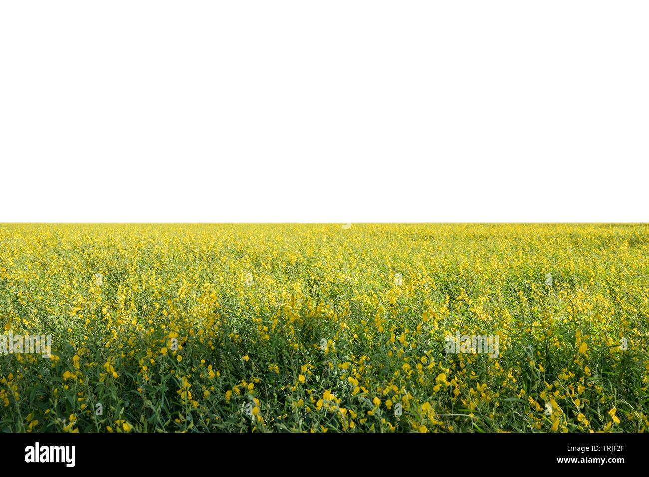Sunn Hanf, Chanvre Indien, CROTALARIA JUNCEA gelbe Blüten im Feld auf weißem Hintergrund Stockbild