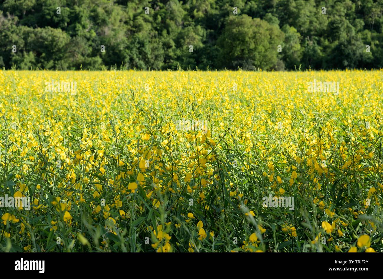Sunn Hanf, Chanvre Indien, CROTALARIA JUNCEA gelbe Blüten im grünen Bereich Stockbild