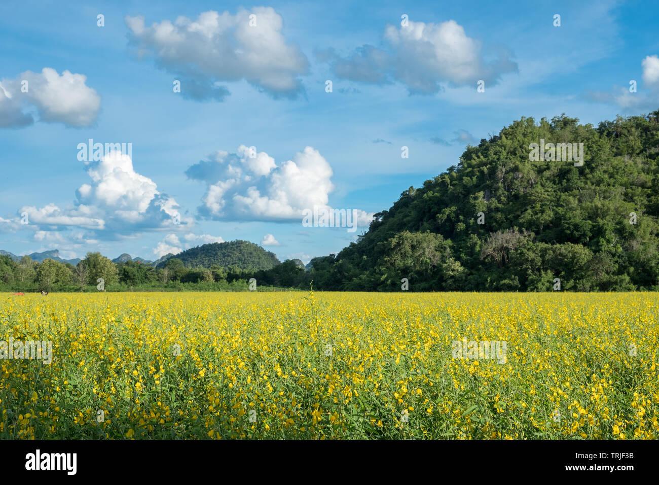 Sunn Hanf, Chanvre Indien, CROTALARIA JUNCEA gelbe Blüten im Feld mit Berg- und blauer Himmel Stockbild
