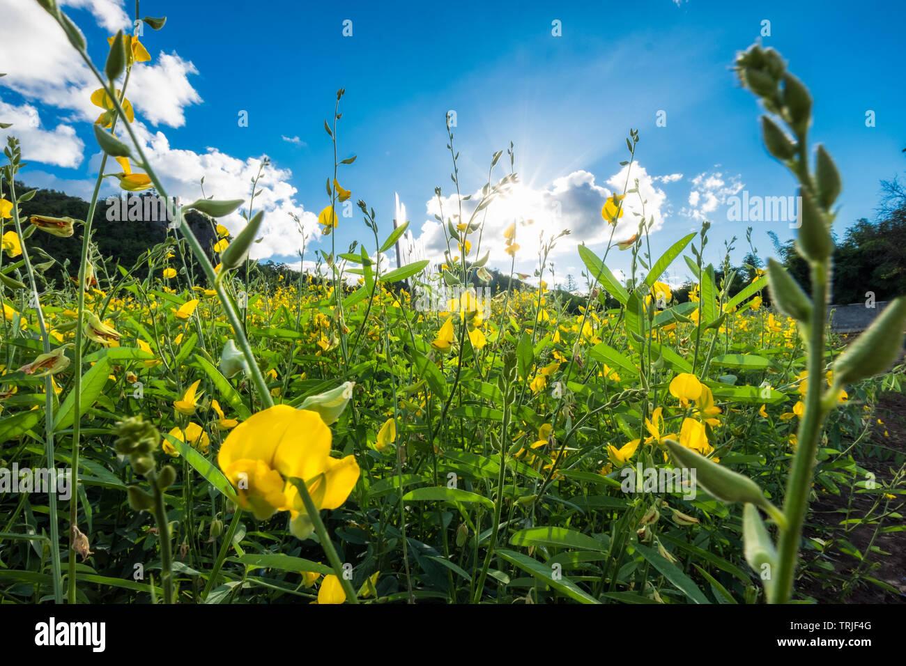 Close-up Sunn Hanf, Chanvre Indien, CROTALARIA JUNCEA gelbe Blüten im Feld mit Sonnenlicht glänzen Stockbild