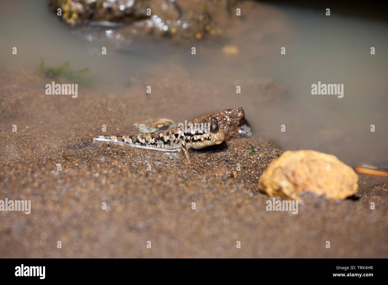 Die gesperrten Schlammspringer, Periophthalmus argentilineatus, ist in Meer- und Brackwasser von der Afrikanischen Küste des Indischen Ozeans an die Stockbild