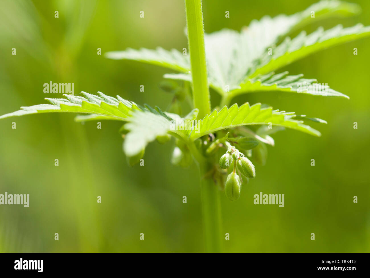 Indica And Sativa Weed Stockfotos & Indica And Sativa Weed