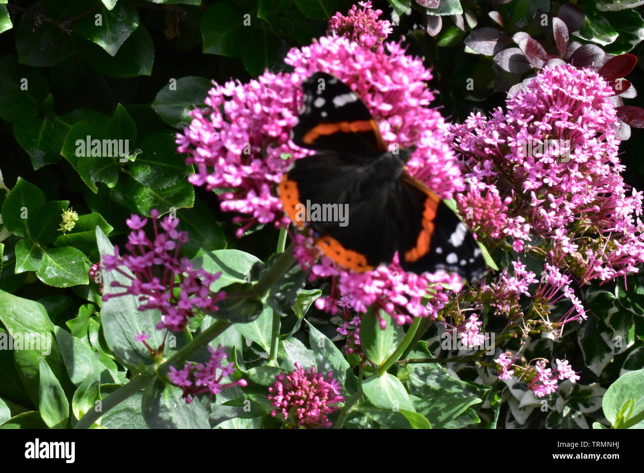 Red Admiral Schmetterling aussteigen auf Rosa Eisenkraut blühende Pflanze, (Ventnor, Isle of Wight, Großbritannien). Stockbild