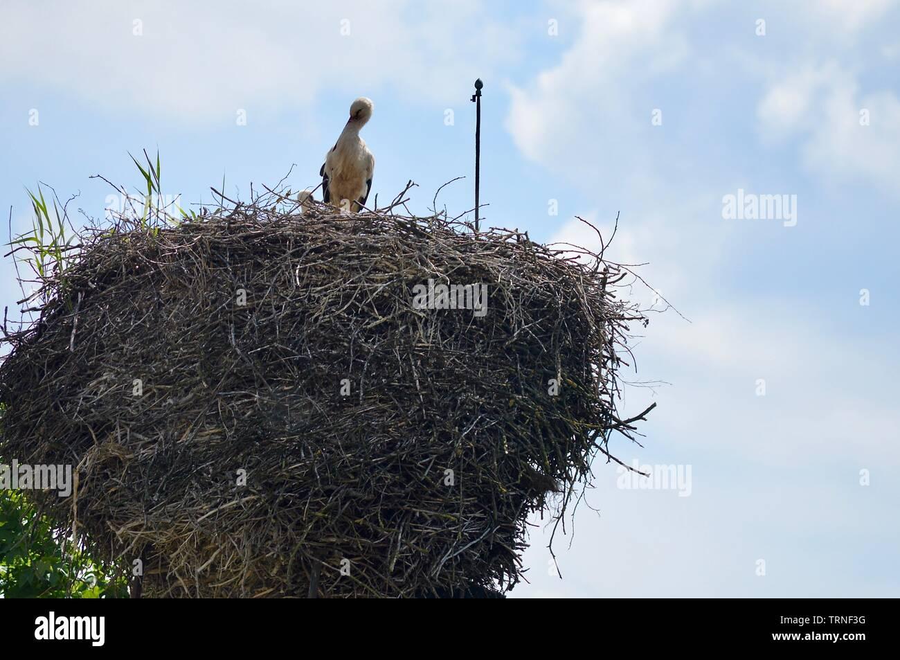 Stork Mutter und achten Sie auf Ihr storklets in ihren großen Nest auf dem Schornstein Stockbild