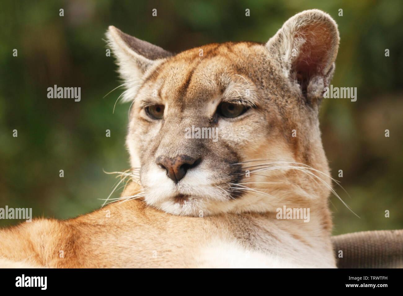 Fur Einen Moment Der Puma Aus Seinem Schlaf Erwacht Und