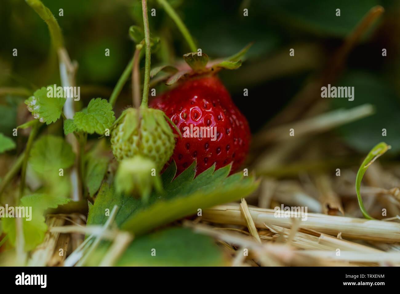 Detaillierte Makroaufnahme der Roten frische Erdbeeren, Bauernhof Stockbild