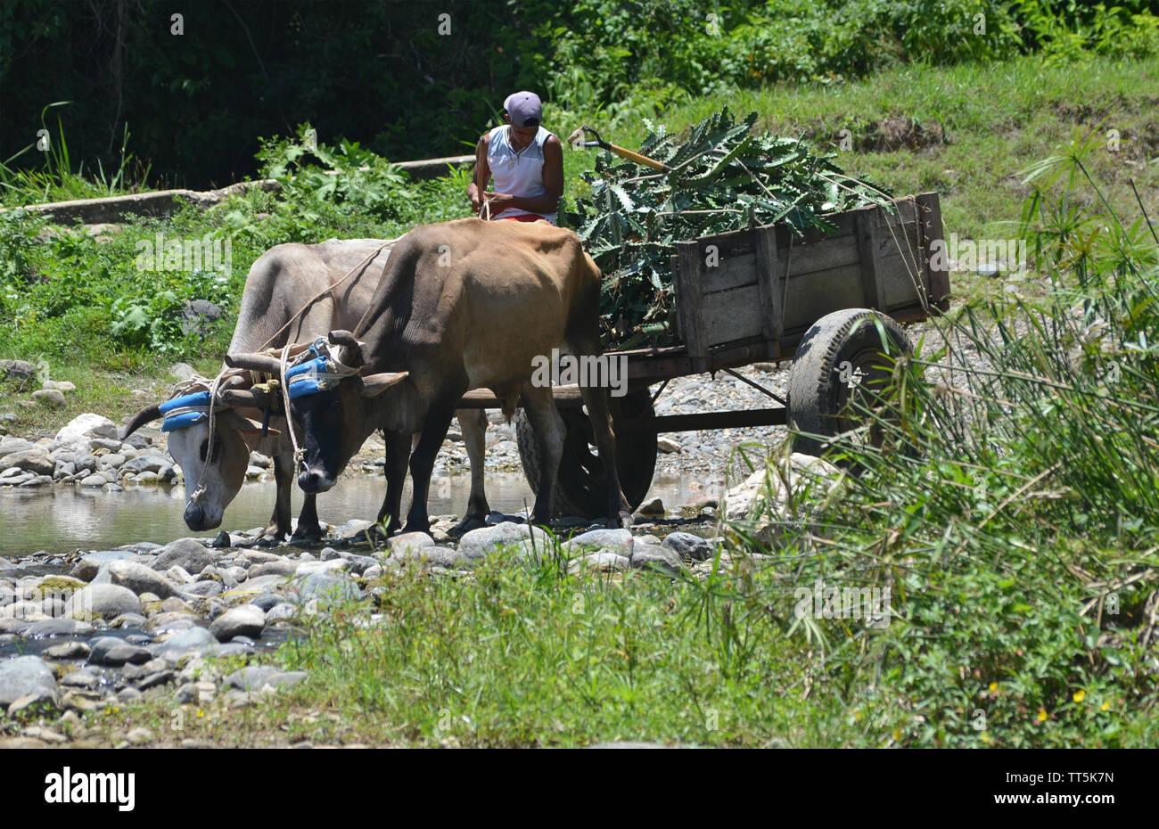 Eine Karre von Ochsen in Guisa Dorf gezogen (Provinz Granma, südlichen Kuba) Stockbild