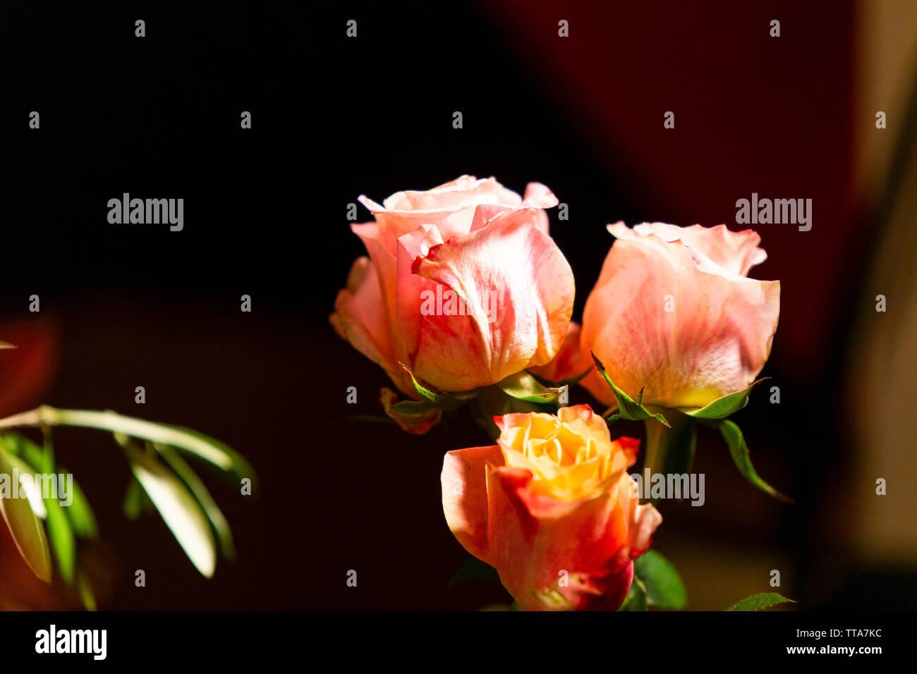 In der Nähe der Rosen auf dem Tisch Stockfoto
