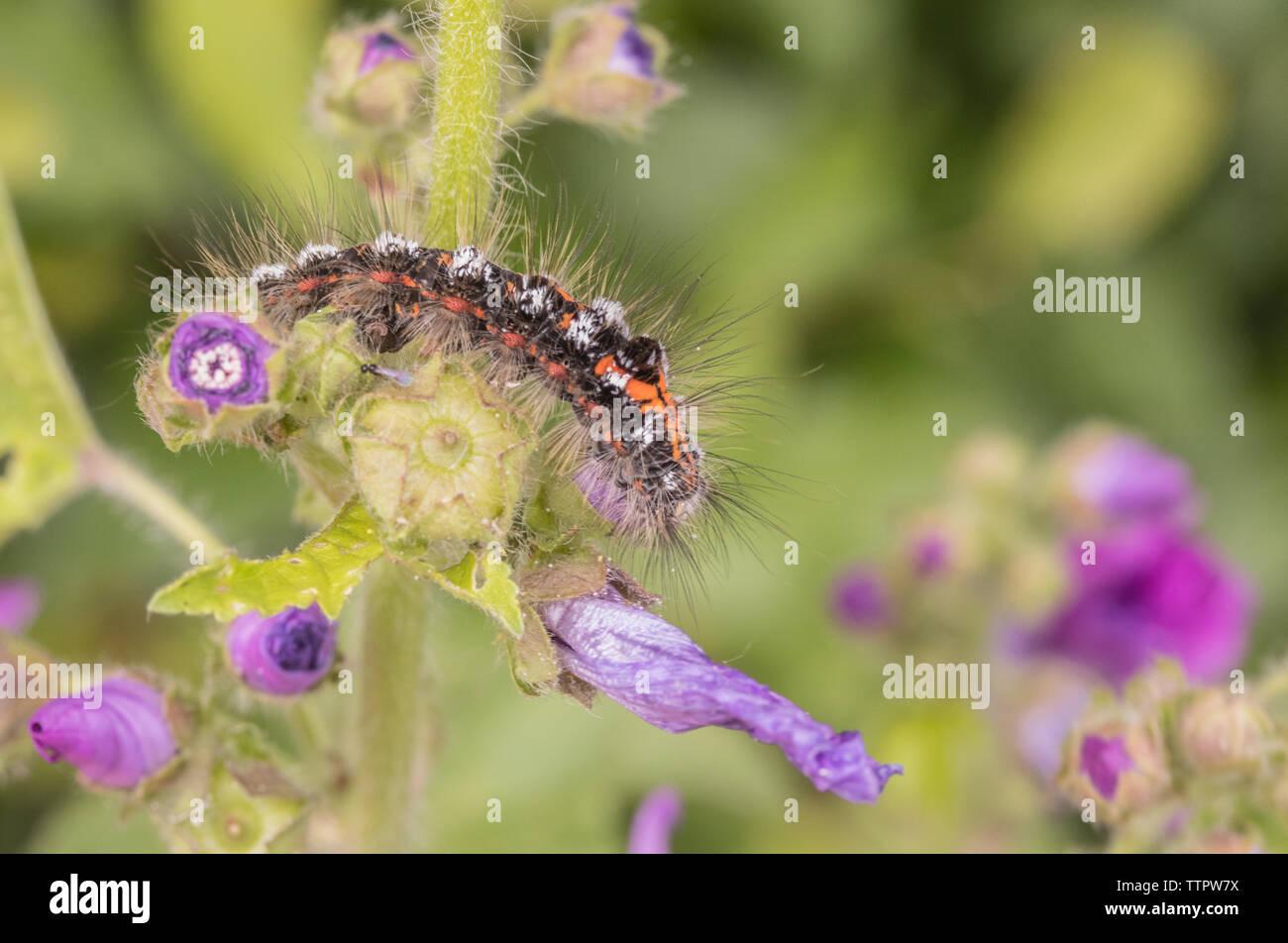 Gelb - Schwanz Mottenlarven, Gelb-tail Caterpillar, Yellow Tail Motte, Caterpillar, Wildlife im Frühjahr in einem britischen Hecke Stockbild