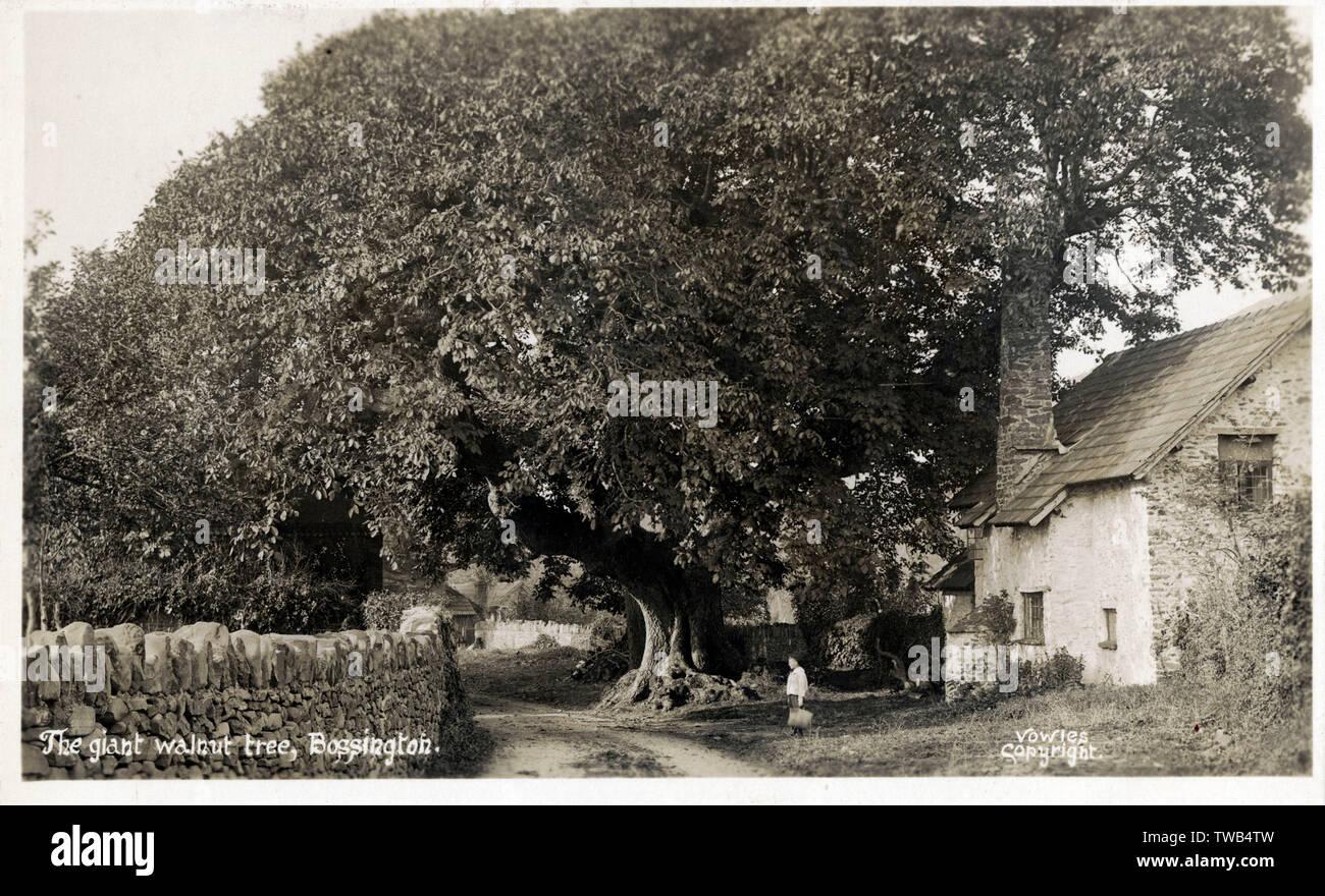 Die riesigen Nussbaum - Bossington, Exmoor, Holnicote Estate, Somerset. Datum: ca. 1910 s Stockfoto