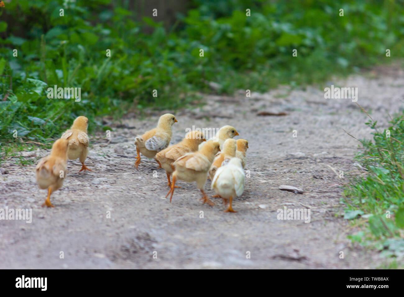 Hühner laufen Weg entlang des Pfades auf der Sommer morgen Stockbild