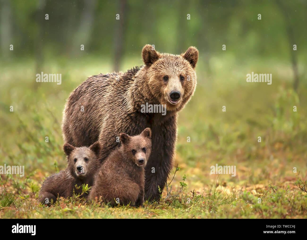 In der Nähe der weiblichen Eurasischer Braunbär (Ursos arctos) und ihren Jungen im borealen Wald, Finnland. Stockfoto