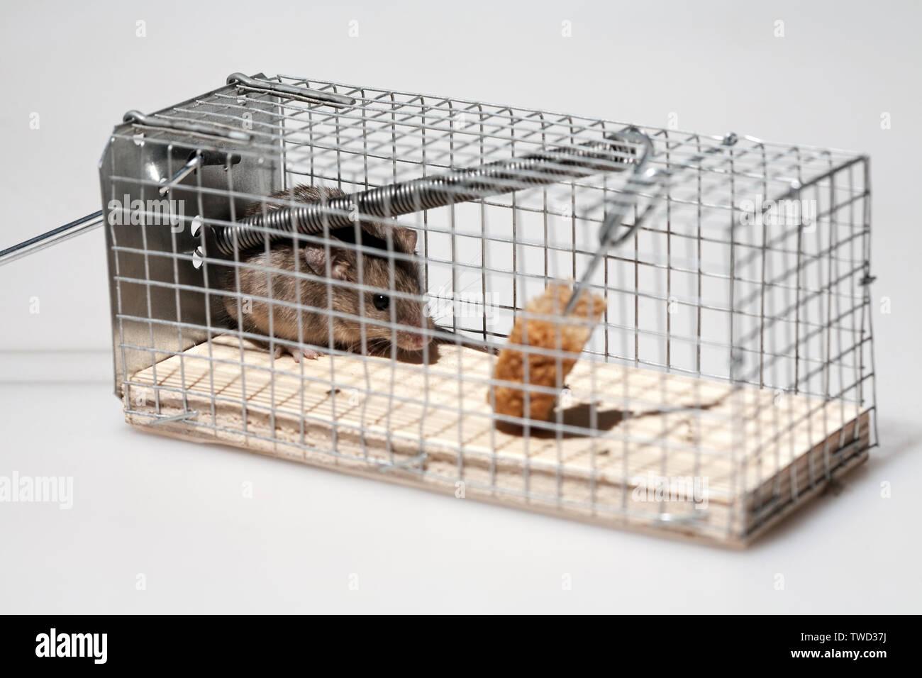 Lebendig Kleine graue Maus in der Mausefalle Detailansicht Stockbild