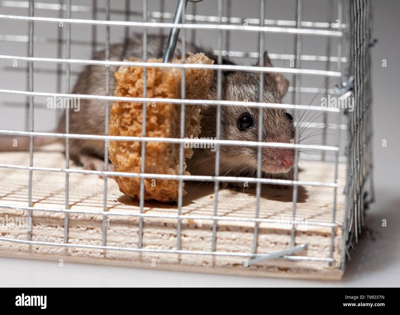 Lebendig Kleine graue Maus in der Falle Detailansicht Stockbild