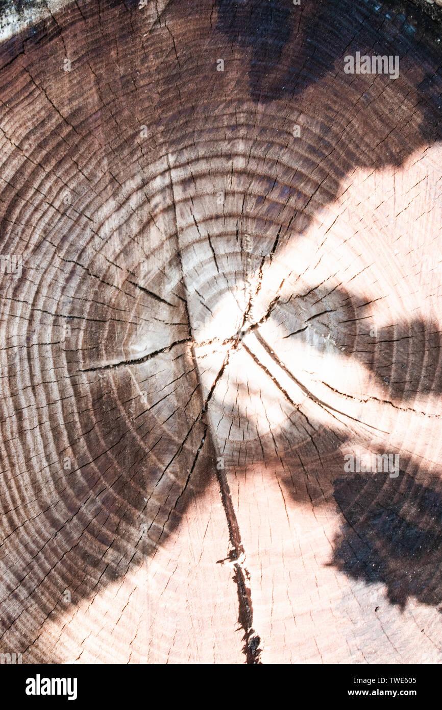 Den Stumpf eines gefällten Baumes ist ein Abschnitt der Amtsleitung, die jahresringe. Die Textur der alter Baumstumpf. Stockfoto