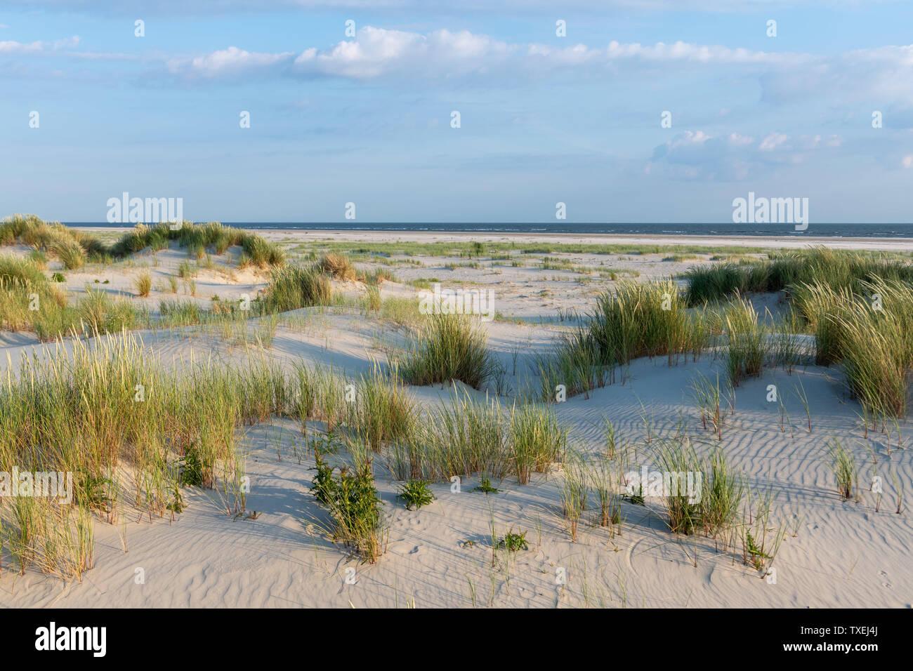 Das grüne Gras bedeckten Sanddünen der friesischen Insel Juist im sonnigen Sommer. Stockfoto