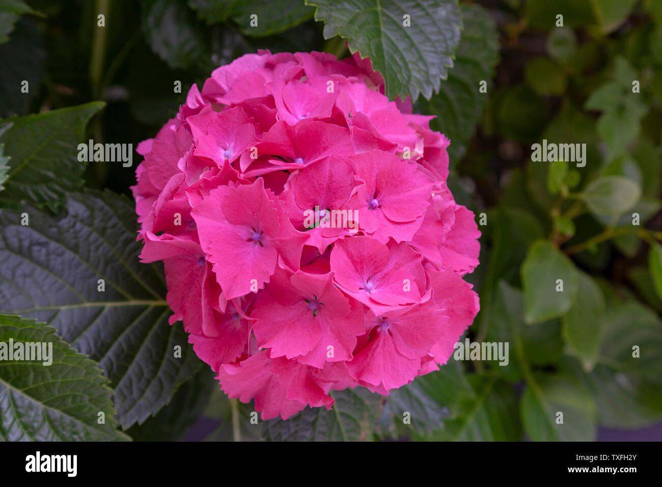 Ein dunkles rosa Blume der Hydrangea macrophylla als 'Sibylla' bekannt. Dieses kompakte Strauch ist winterhart und reichblühend. Fleur rose foncé d'Hortensia. Stockfoto