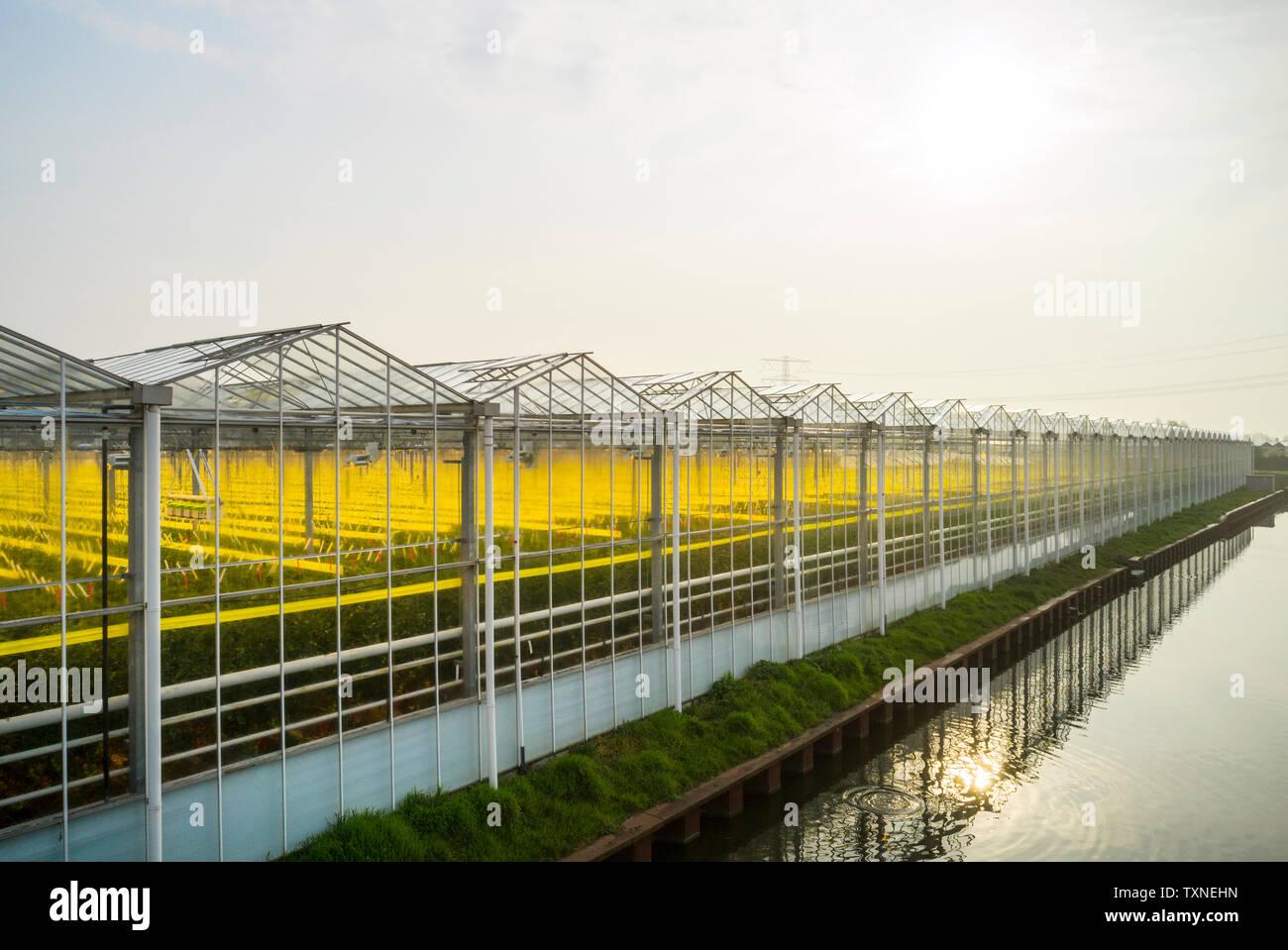 Gewächshaus in den Westland, Teil der Niederlande mit großer Konzentration von Gewächshäusern, gewinkelt, Maasdijk, Zuid-Holland, Niederlande Stockbild