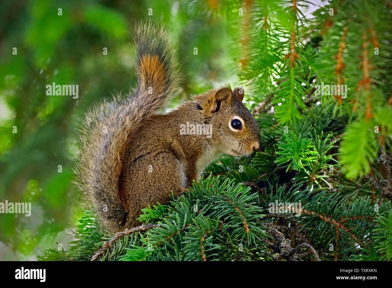 """Eine Seitenansicht eines jungen Eichhörnchen """"Tamiasciurus hudsonicus', auf einem grünen Spruce Tree Branch in ländlichen Alberta, Kanada. Stockbild"""