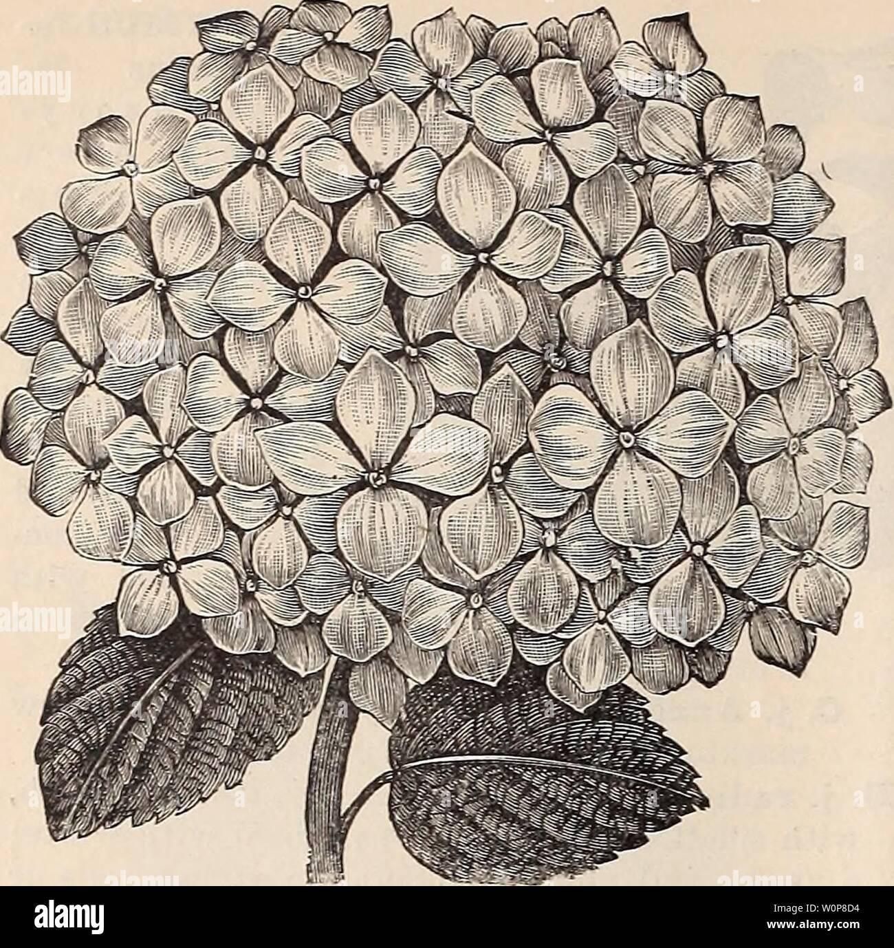 Archiv Bild von Seite 23 der beschreibenden Katalog von Zierbäumen,. Beschreibender Katalog der dekorative Bäume, Pflanzen, Reben, Obst, etc. descriptivecatal 1891 Jahr: 1891 20 SA/nuEL C./TooN beschreibenden Katalog. HYDRANGEA HORTENSIS. Exocttorda, fortgesetzt. Ausreichend fortschrittliche genau die richtige Menge an Tonen Farbton grün die Klagegründe - ing Effekt zu produzieren zu leisten, und die Ungeschäumten Knospen sind wie kleine runde Perlen von pearly Weißgrad. (Siehe Schnitt, die letzte Seite. ) 50 cts. bis 81. £. Alberti. Eine neue Art, mit helleren Blätter und größere Blüten als die oben genannten. SI. FORSYTH Stockbild