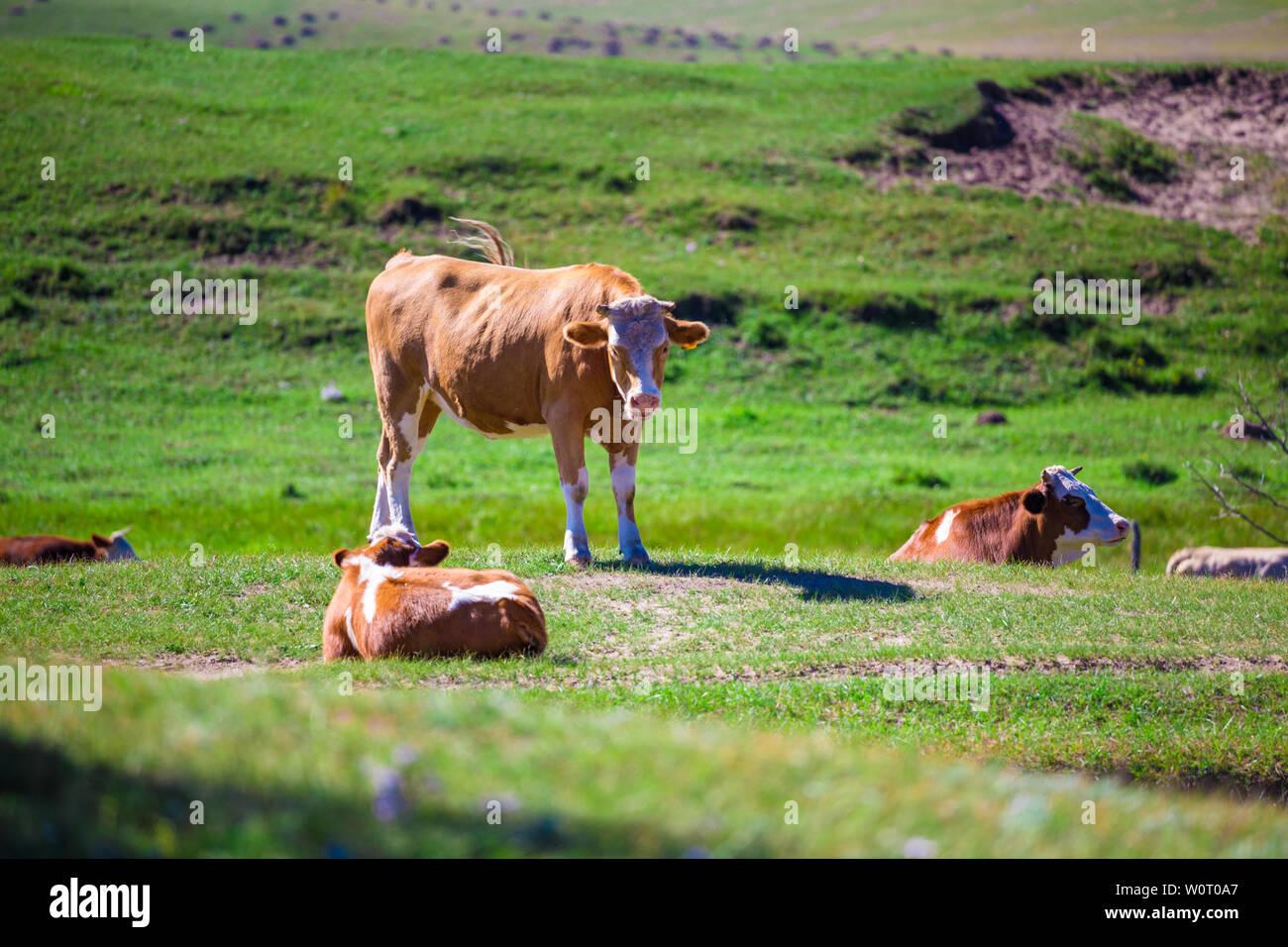 Landwirtschaft Bauernhof Bauernhof, Viehzucht, Rasen, trockene Wiese, Weide, tiere, säugetiere, Kuh, Bauernhof, Landschaft, Ländliche niemand in der Natur, Gräser, Tierhaltung, Ackerland, ländlichen Gegend Sommer Rinder Herde Rinder Rinder Rinder Stockfoto
