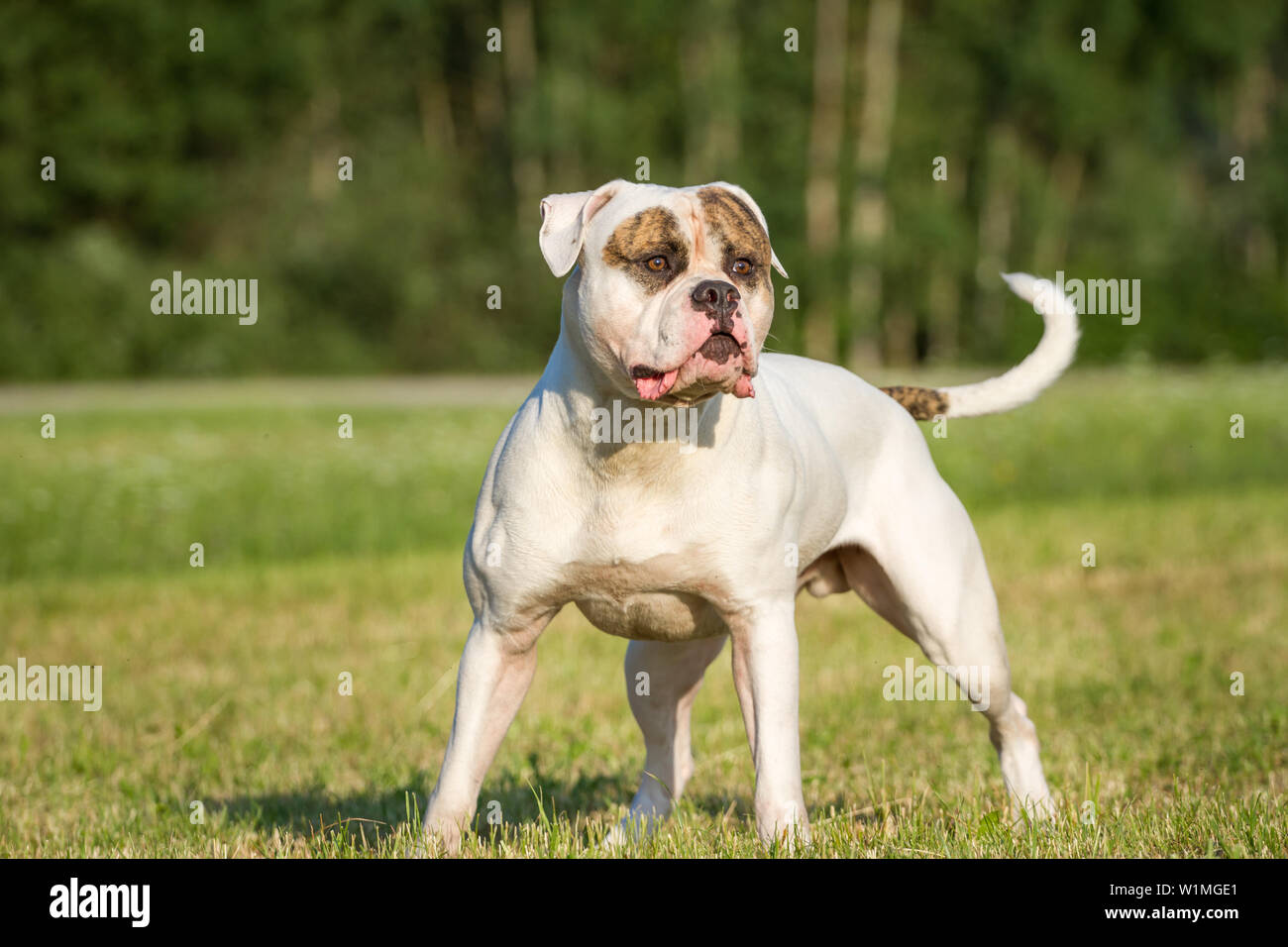 Bulldogge Mit Augenklappe Stockfotos Bulldogge Mit Augenklappe