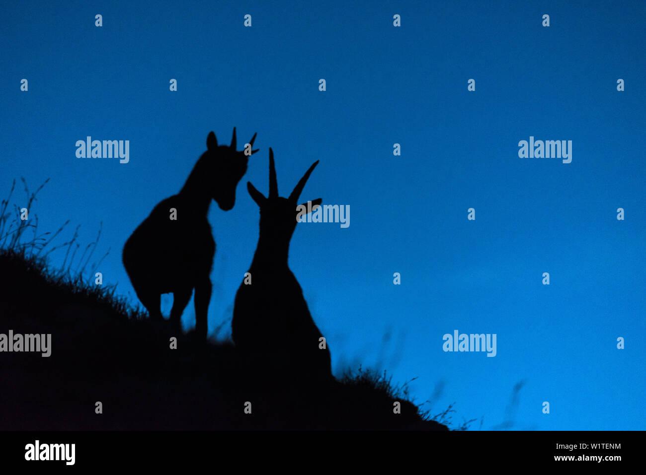 Capricorn Ibex Animal Germany Europe Stockfotos und  bilder Kaufen ...