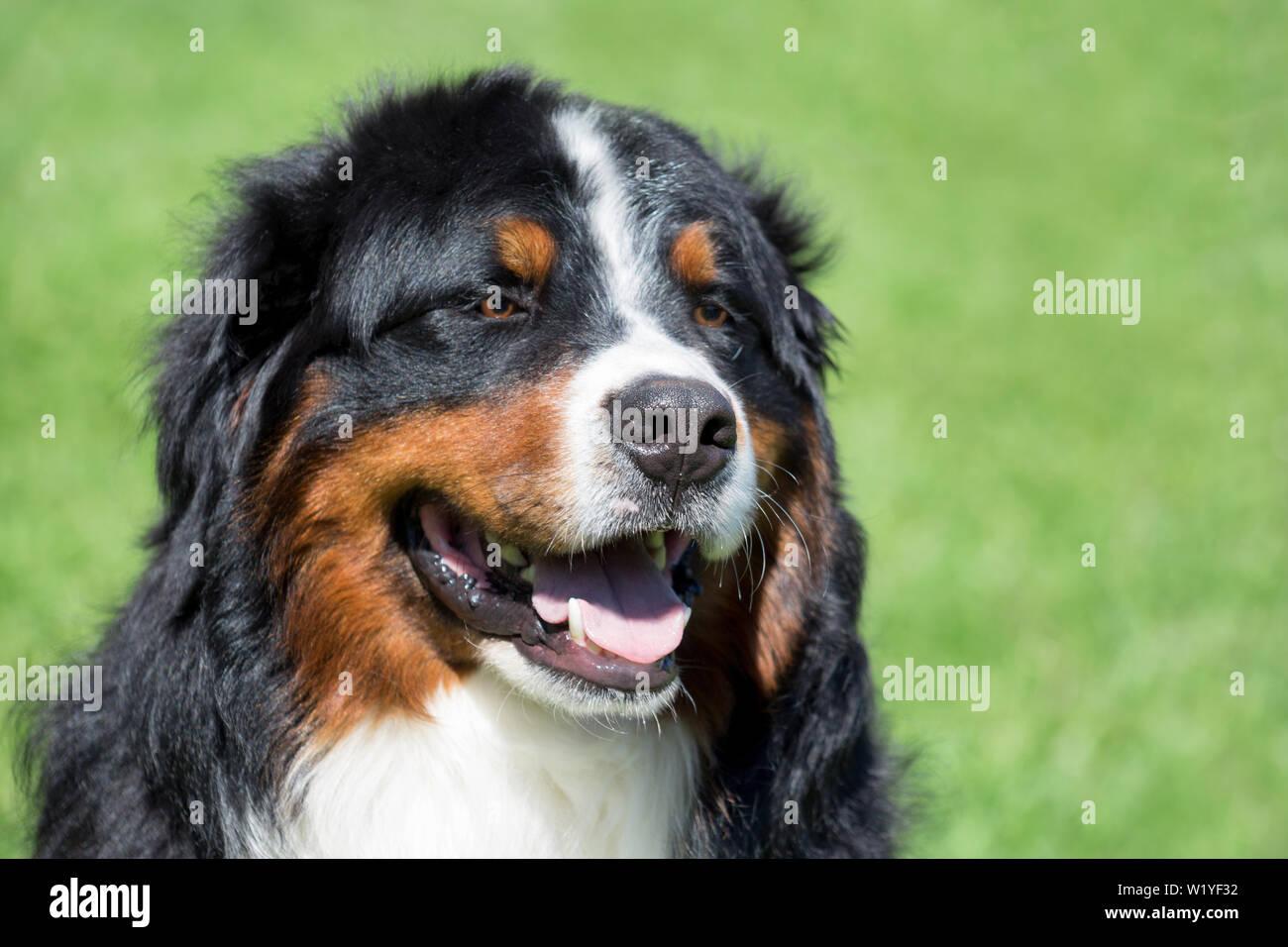 Susse Berner Sennenhund Welpen Berner Sennenhund Oder Berner