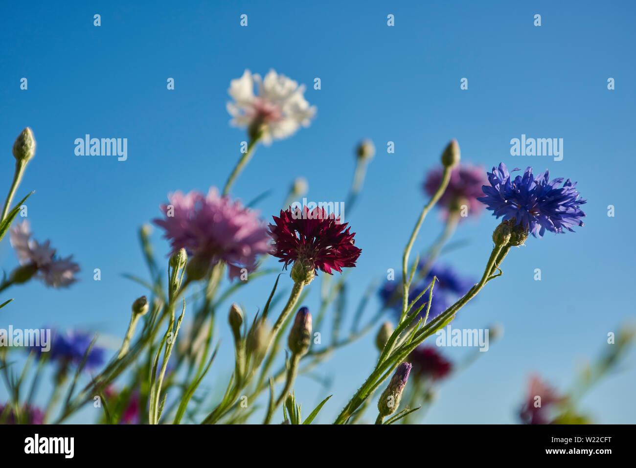 Kornblumen Stockfoto