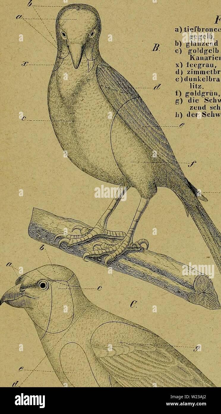 Archiv Bild ab Seite 148 von Kanarienvögel, Sprosser, Nachtigallen, Rothgimpel sterben, Stockbild
