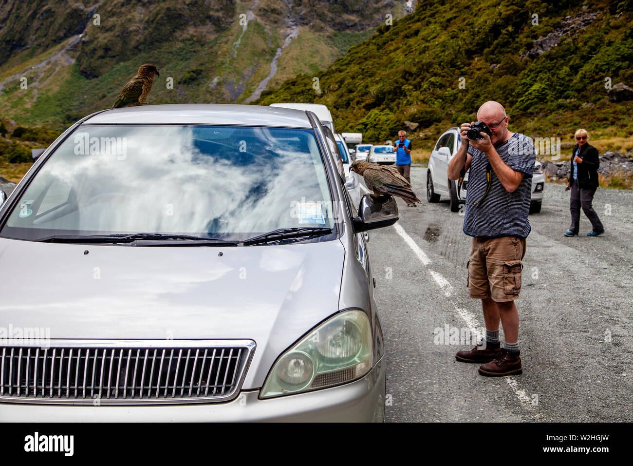 Die Besucher nehmen Fotos Der Gebirgspapageien (Kea Vögel) am Eingang des Homer Tunnel, Fiordland National Park, South Island, Neuseeland Stockfoto