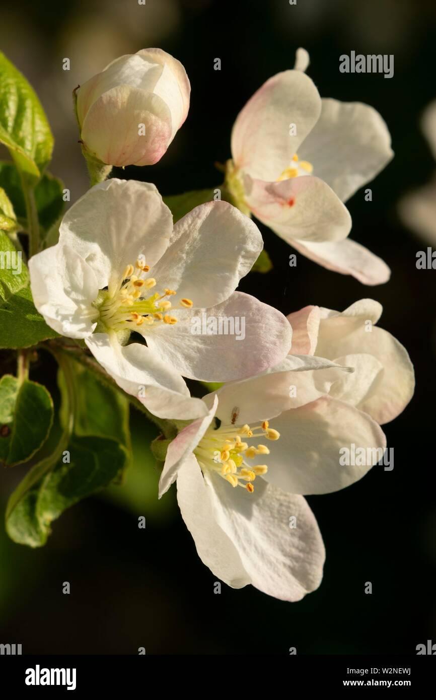 Frucht Baum Blüte, EE Wilson Wildlife, Oregon. Stockbild
