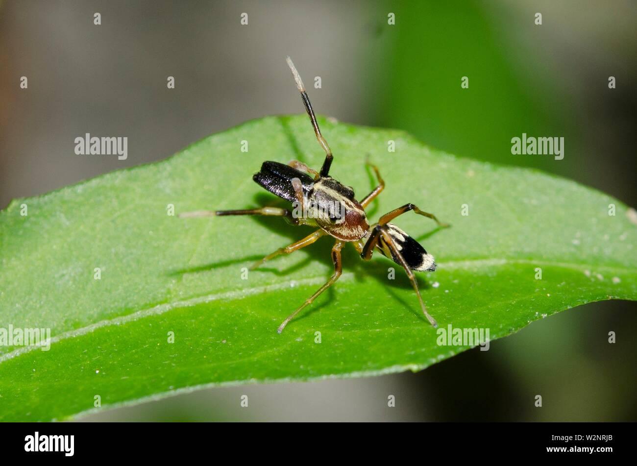 Männliche Ant-nachahmen Spinne (Myrmarachne exasperans, der Familie) auf Blatt, Klungkung, Bali, Indonesien. Stockbild