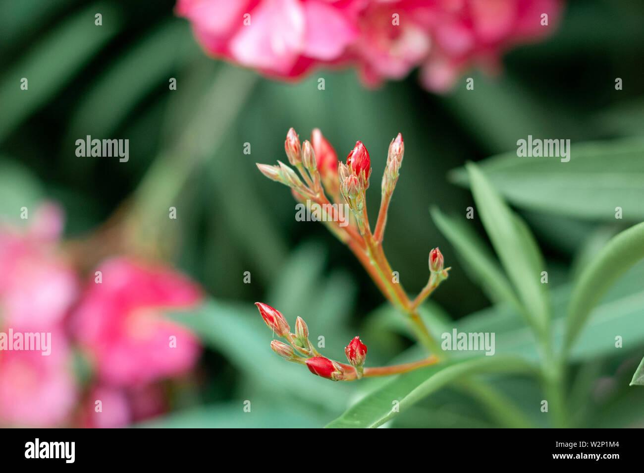 Rosa oleander Knospen. Nerium oleander. Floral background Stockfoto