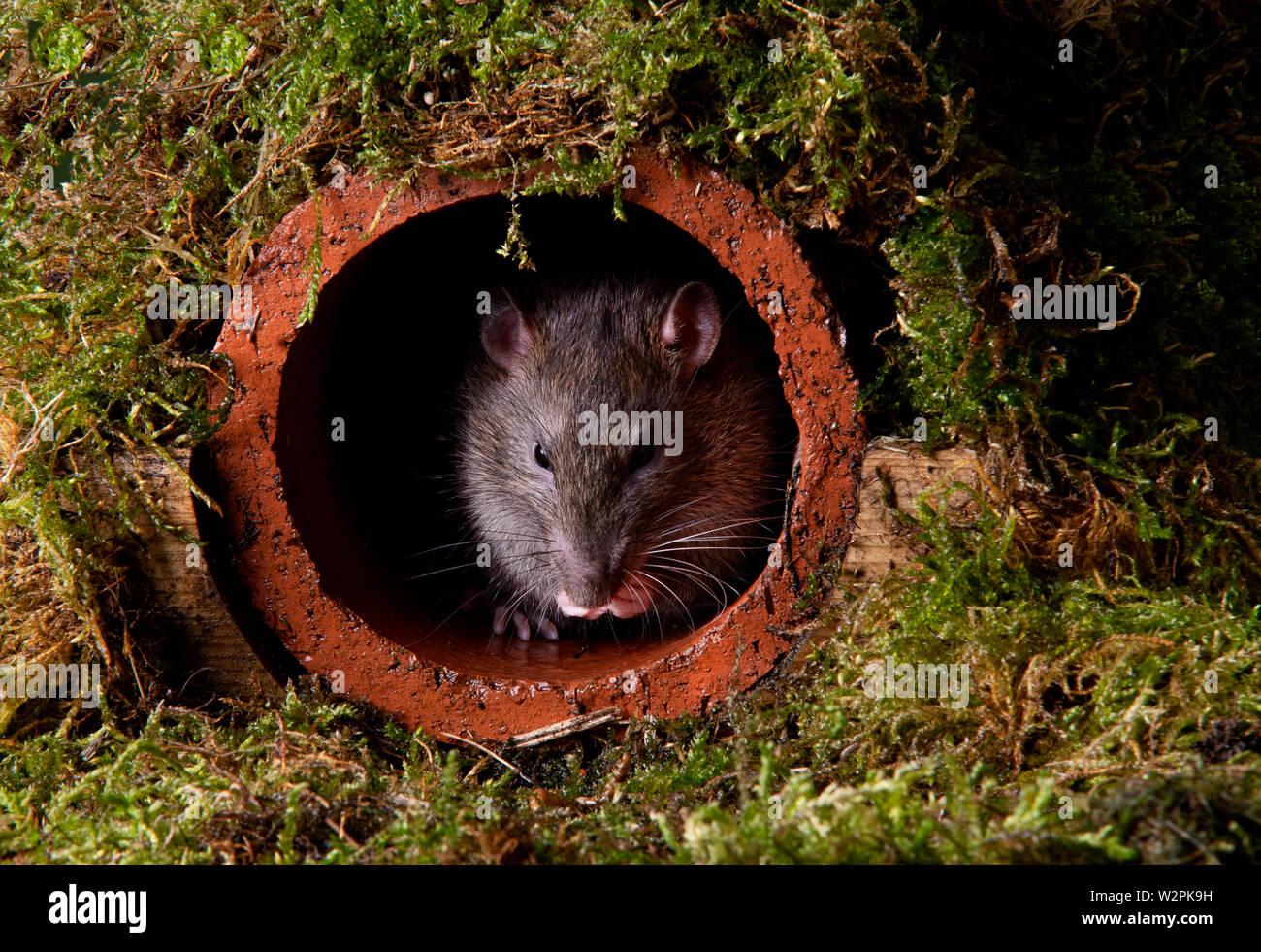 Eine wilde braune Ratte in einem terracotta Ablaufleitung Stockfoto