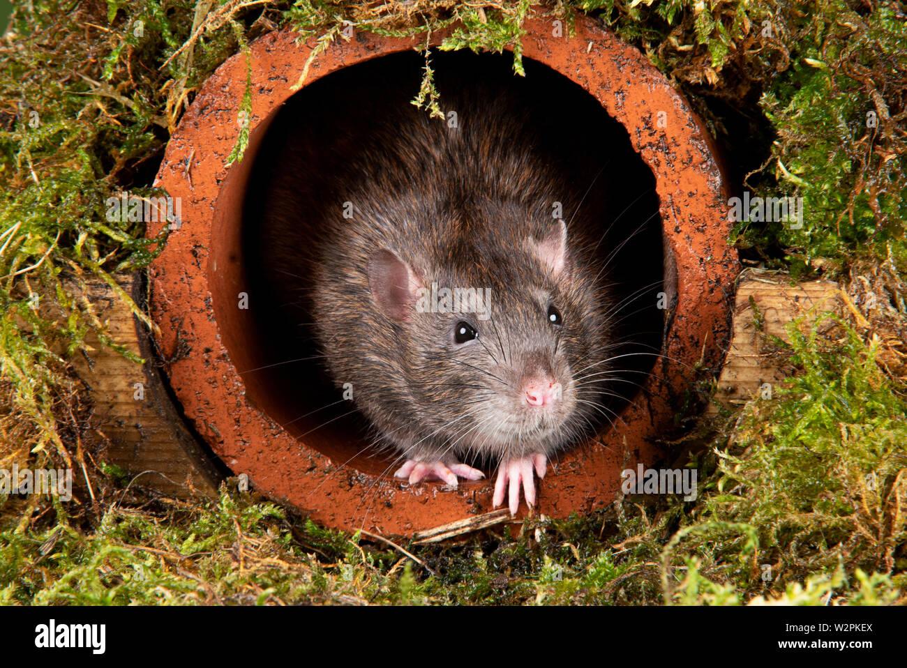 Eine wilde Ratte in ein Studio einrichten, die sich aus einer Wasserleitung Stockfoto