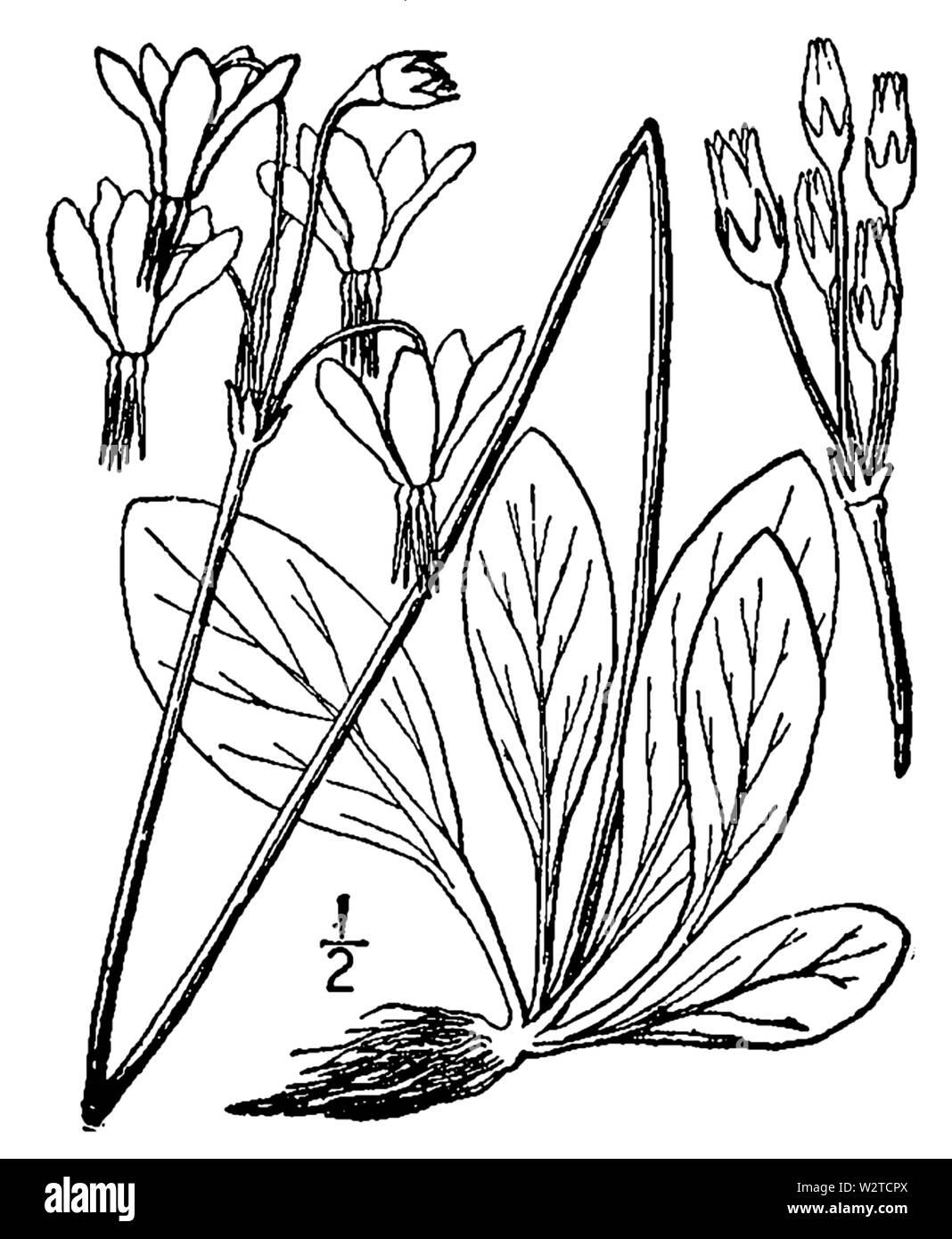 Abb. 0717. Dodecatheon meadia ab der zweiten Auflage eines illustrierten Flora der Norden der USA, Kanada und die britischen Besitzungen (New York, 1913) Stockfoto