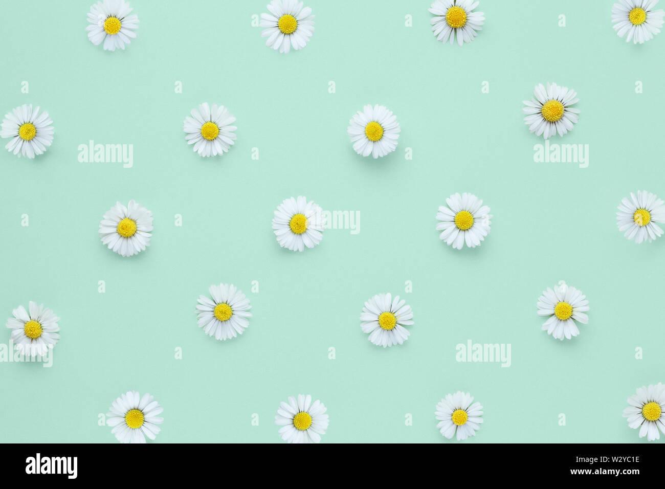 Gemeinsame Wiese Gänseblümchen auf grünem Hintergrund von oben Stockfoto