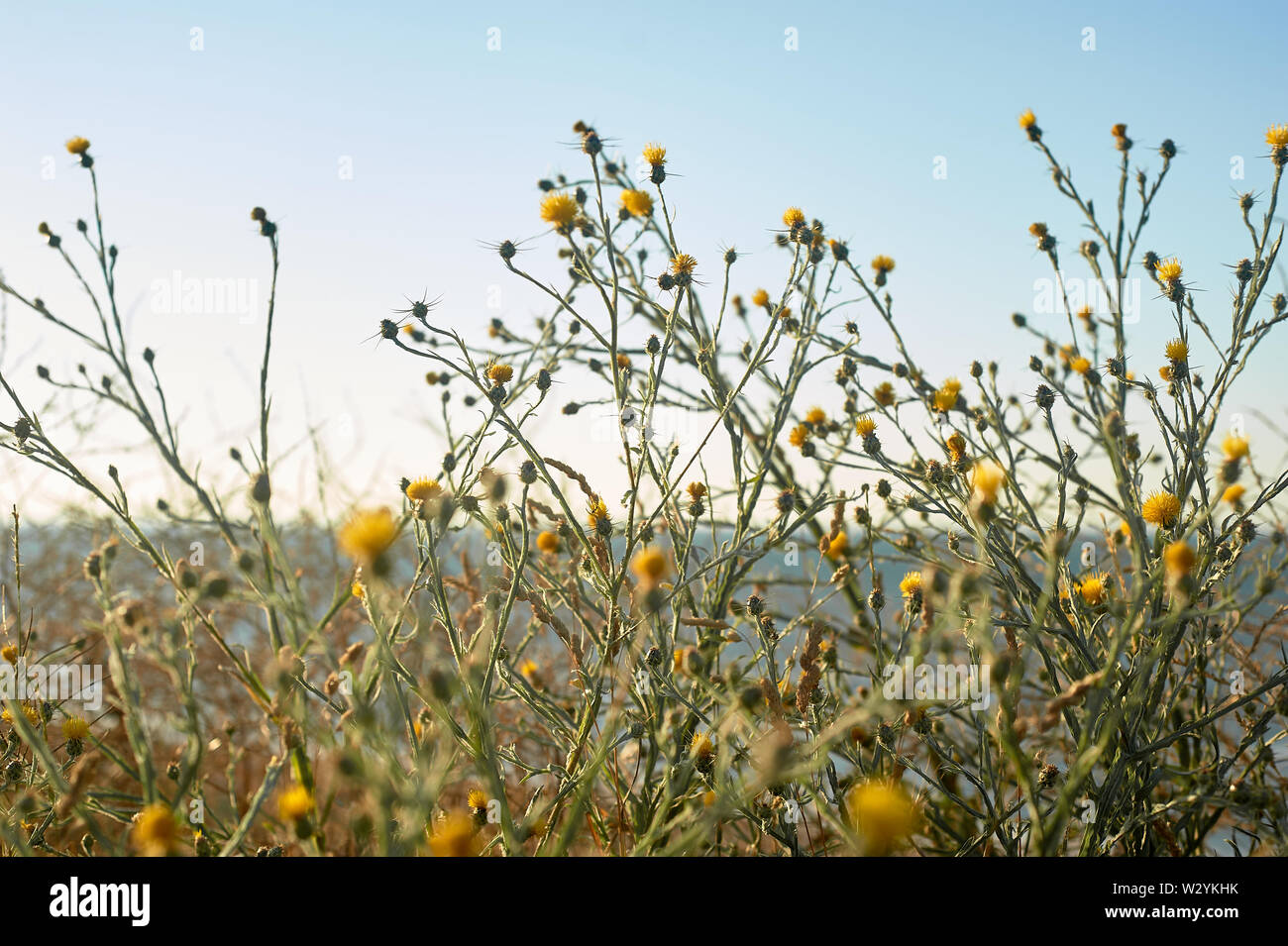 Gelbe Blumen wachsen auf den Strand. Botanik der Küste. Stockfoto