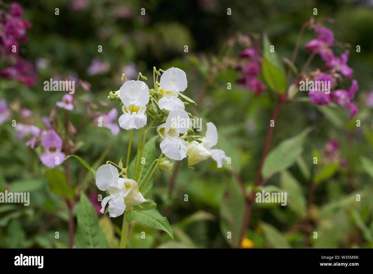 Impatiens glandulifera 'Himalayan Balsam' Blumen. Stockfoto